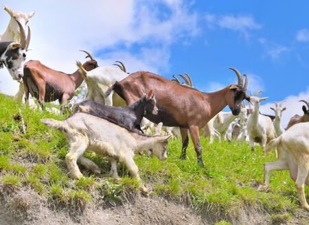 herd of goats in a meadow with babies