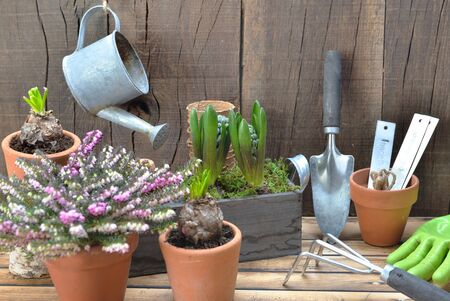 gardening arrangement with garden equipment and hyacinth potted on wooden background Stockfoto