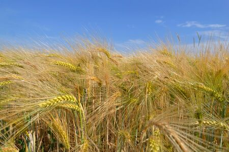close ocobs of golden cereal growing in a field under blue sky  Stok Fotoğraf