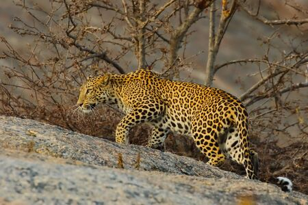 An Indian leopard with its twisted tail gracefully stretching on a rock and looking straight with small trees in the background in Rajasthan India