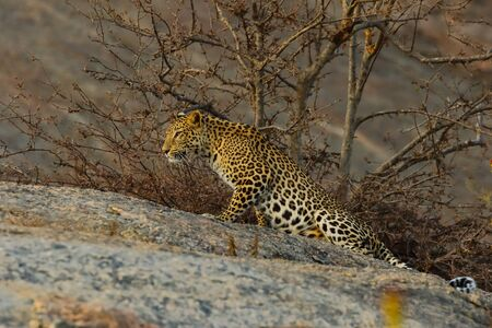 Image of adult Indian leopard with its twisted tail gracefully stretching with its right paw ahead on a rock and looking straight with small trees in the background in Rajasthan India