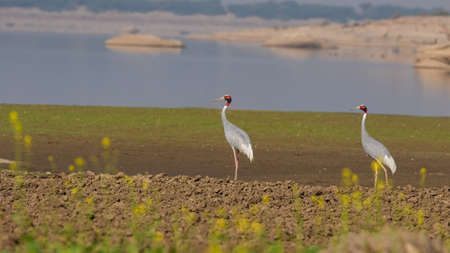 3. A pair of beautiful Sarus Cranes standing tall together in fields with water in the background at the wetlands of Jawai  at Rajasthan in India on 24 November 2018 Reklamní fotografie