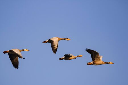 Four bar headed geese flying in a symmetry with blue sky in the background at Jawai, Rajasthan in India