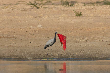 A piece of red cloth thrown carelessly near a lake been picked up and being thrown by a Demoiselle crane in Jodhpur Rajasthan India on 8 January 2019