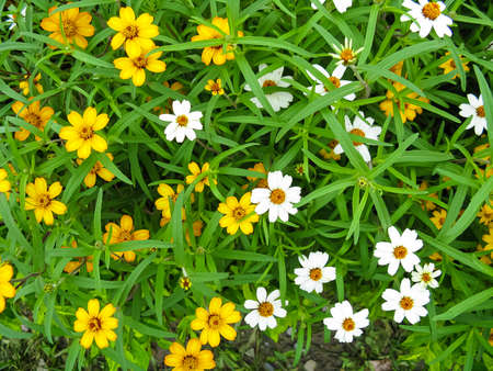 Image of Colorful white and yellow flowers blooming in a garden with green leaves all around