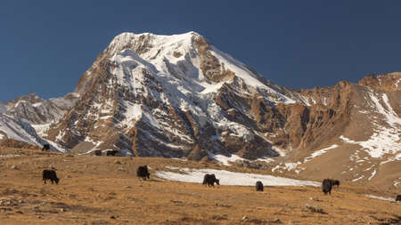 A group of yaks standing and grazing on the meadows in high altitude at North Sikkim India