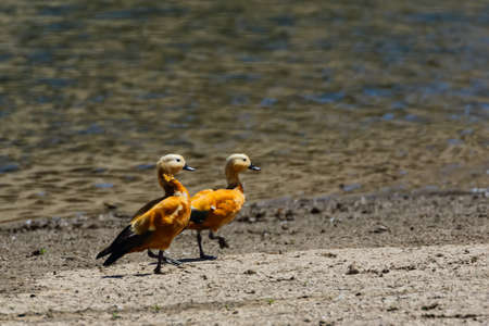 A pair of ruddy shelduck also called brahminy duck walking on ground next to a water bank in Rajasthan India