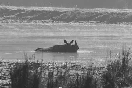 Monochrome silhouette of a Single horned rhino siting inside water and cooling off in Assam India on 7 December 2016 in a national park