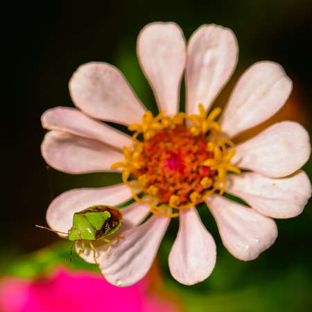 Selective focus Macro image of a green stink bug from top siting on the petals of a pink flower
