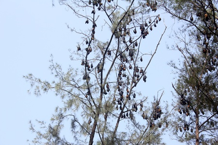 pteropus: Numerous Huge Bats Hanging from Tree