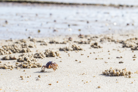 vibrations: Soldier crabs (mictyris longicarpus) marching during low tide in the Tamar river sanctuary. The crabs (mictyris longicarpus) move into armies or thounsands, sieving nutricous soil components out of large areas of beach sand. When disturbed by vibrations s