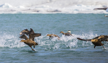 Eider ducks taking off for flight on an arctic lake with splashing water and spread wings Stock Photo