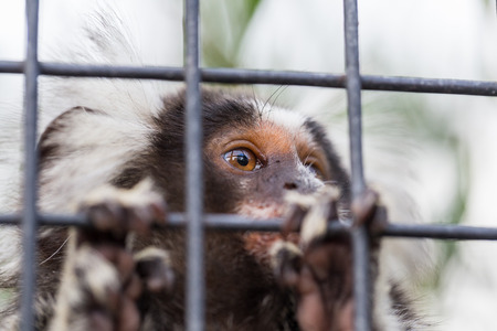 Closeup of the face of a common marmoset (Callithrix jacchus) looking out from its cage through bars.
