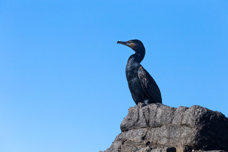Great cormorant (Phalacrocorax carbo) resting on a rock