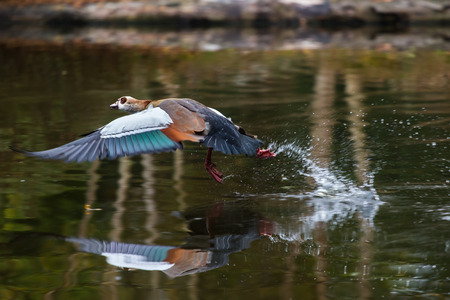 alopochen: Egyptian goose (Alopochen aegyptiacus) in flight above the water surface of a lake. Takeoff with water splashes.