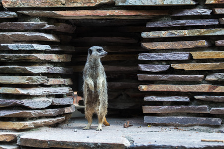 Meerkat or suricate (Suricata suricatta) standing upright looking out from the clearing of a stone wall