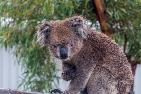 Koala bear (Phascolarctos cinereus) sitting in a eucalyptus tree with natural background. Koalas are marsupials endogenous to Australia. Frontal view looking at camera with eye contact.