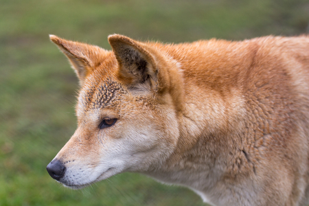 domestication: Australian dog, close-up view of head and neck with natural background