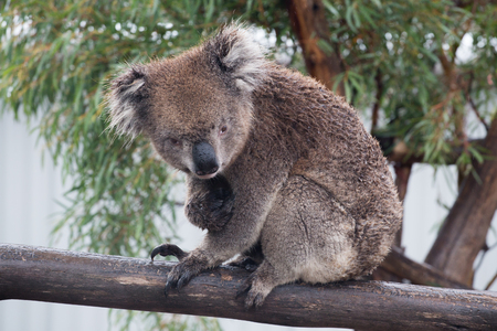 Koala bear (Phascolarctos cinereus) sitting in a eucalyptus tree with natural background. Koalas are marsupials endogenous to Australia. Frontal view looking at camera with eye contact
