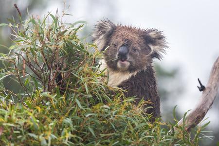 Koala bear (Phascolarctos cinereus) sitting and eating in a eucalyptus tree. Frontal view looking at camera with eye contact. Koalas are marsupials endogenous to Australia. Stock Photo