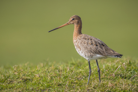 elegantly: A blacktailed godwit Limosa Limosa Just returned for this season and walks elegantly on farmland with afternoon sunlight in front of him. Most of the European population wide in the Netherlands.