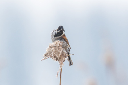 phragmites: A common reed bunting Emberiza schoeniclus sings a song on a reed plume Phragmites australis. The reed beds waving due to strong winds in Spring season on a cloudy day.