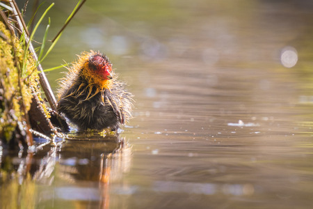 fulica: Eurasian coot Fulica atra chick swimming. Low point of view Stock Photo