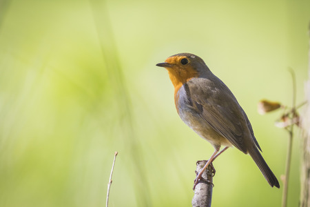 rubecula: European robin (Erithacus rubecula) perched on a branch and singing