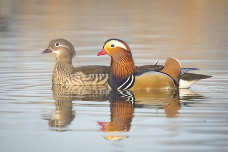 Closeup of two Mandarin duck Aix galericulata male and female pair swimming with reflection in the water. 版權商用圖片