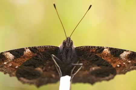 inachis: Peacock butterfly resting in a meadow. Front view, wings open