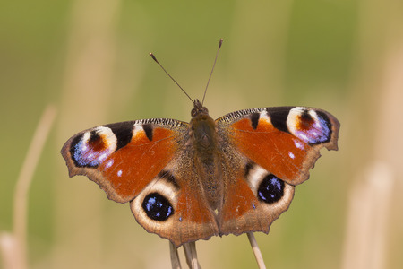 inachis: Peacock butterfly resting in a meadow.Top view with open wings
