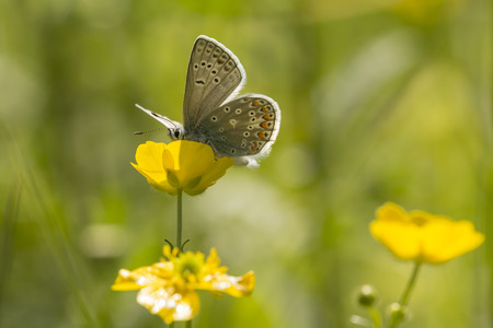 common blue: Common blue butterfly feeding nectar out of a buttercup flower