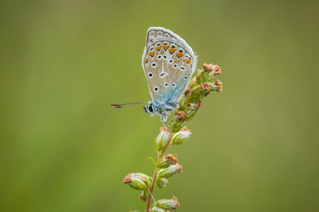polyommatus: Early morning Common Blue butterfly sleeping in a meadow Stock Photo