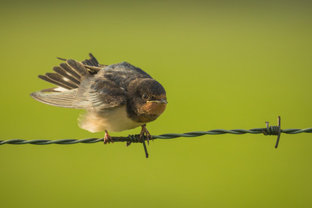 eyecontact: Barn Swallow Hirundo rustica spreads his wings while resting on green barb wire falling on a early morning sunrise facing the camera. A large group of thesis barn swallows foraging and hunts insects and taking Their occasional rest On Their turns.