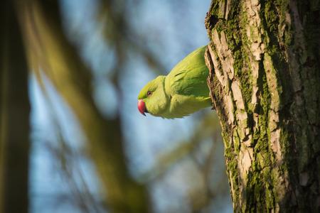 periquito: Perico Rose-anillado (Psittacula krameri), tambi�n conocido como el periquito de collar se despierta por la ma�ana y asoma la cabeza por un agujero en un �rbol. Foto de archivo