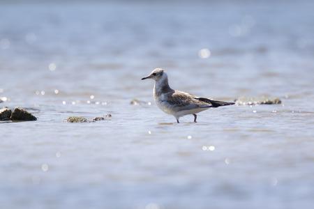 ridibundus: A black-headed gull (Chroicocephalus ridibundus) in search for food on a beach.