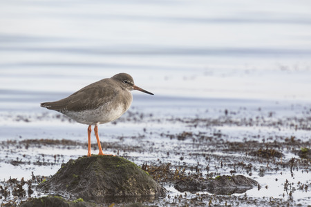 observe: Common Redshank waterbird taking a rest on shore and observe where he can forage next.