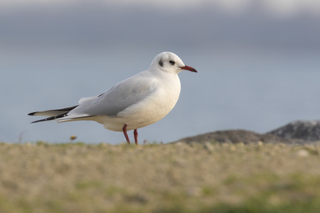 black headed: Black headed gull perched on the shore, standing in sunlight. Stock Photo
