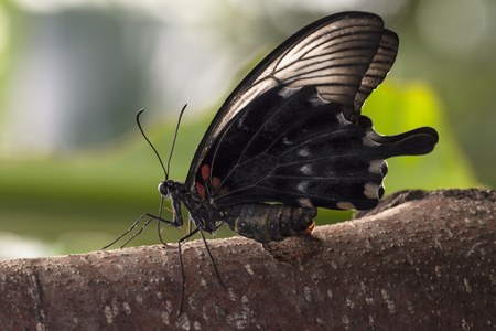 forewing: The great mormon (Papilio memnon agenor) butterfly resting on a tree branch. His wings are closed and backlit by the sun.