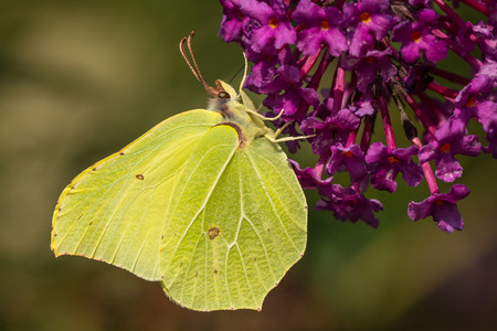 gonepteryx rhamni: A common yellow brimstone butterfly Gonepteryx rhamni feeds from green butterfly bush Buddleja davidii flowers.