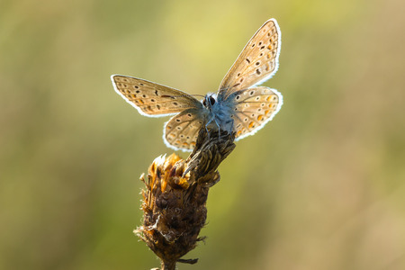 icarus: Common blue (Polyommatus icarus) resting and drying his wings in the sun. Stock Photo