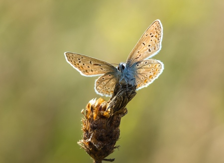 common blue: Common blue (Polyommatus icarus) resting and drying his wings in the sun. Stock Photo