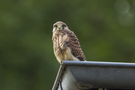 A juvenile female Kestrel in a roof-gutter.