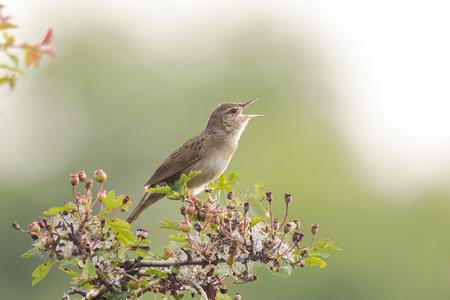 vogel zingt