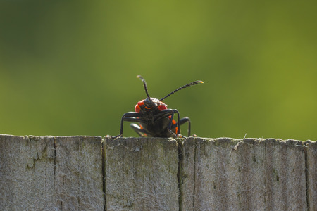 'hide out': A red lily leaf beetle shield bug walking the neighbour fence, on the lookout.
