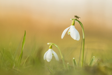 nivalis: Common snowdrop (Galanthus nivalis) in early spring. Low light and warm colors on the blur front and background. A little unidentified insect is resting on one of the flowers giving the first signs of the temperature rising after a cold winter. Stock Photo