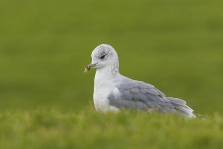 foraging: Mew gull foraging in grasslands
