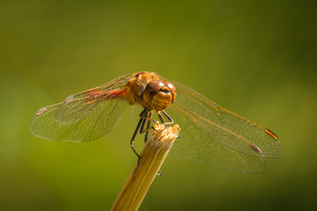 libellulidae: Front view of a common Darter with his wings spread he is drying his wings in the early, warm sun light