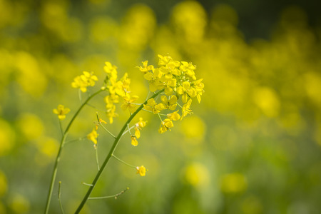 rapa: Close-up of rapeseed flower (Brassica rapa) in a meadow.