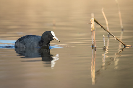 scavenge: A coot gathers nest material to build a nest. It is Spring, the reeds on the background are yellow.